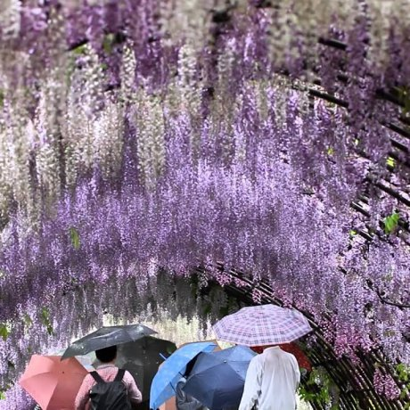 Through the Wisteria Tunnels
