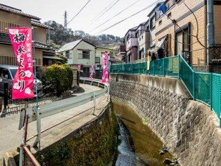 ในปีนี้เทศกาลดอกพลัมจะมีขึ้นตั้งแต่วันที่ 4 กุมภาพันธ์ถึง 17 มีนาคม ในช่วงเวลานี้ถนนและสะพานไปสู่สวนจะเต็มไปด้วยธงสีชมพู
