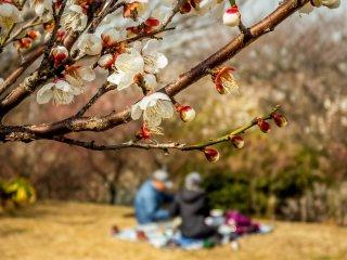 แม้ว่าดอกพลัมจะไม่บานกันเต็มที่ แต่ก็มีผู้คนออกมานั่งชมดอกไม้กันแล้ว