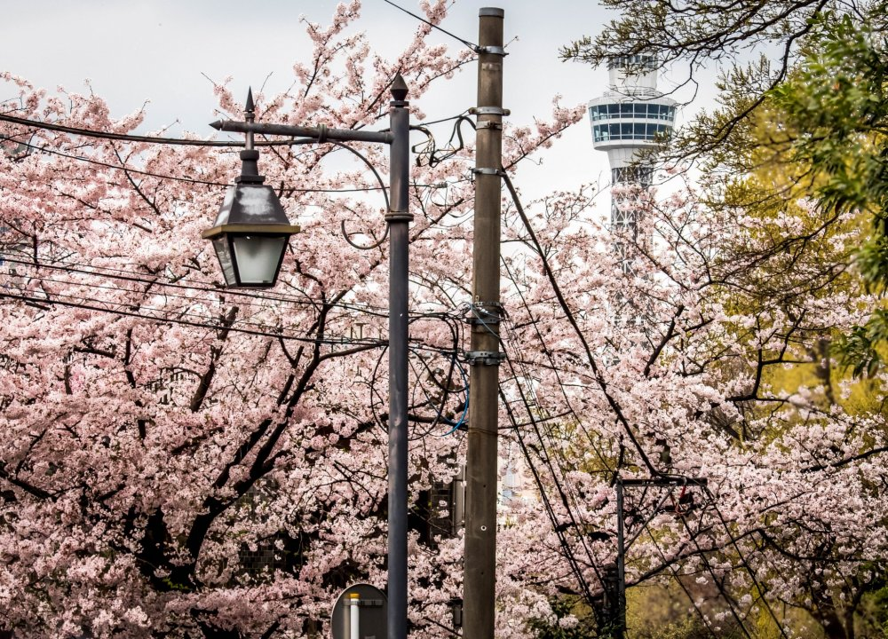 As you approach the park from Motomachi Station you are immediately presented with a colorful sight