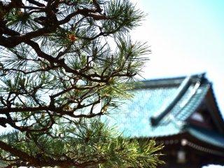 밝은 햇살에 푸른 사원 지붕이 있는 일본 정원의 소나무
