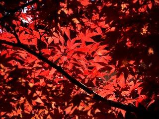 햇빛에 의해 빛나는 빨간 잎들은 그늘진 잎들과 대조된다