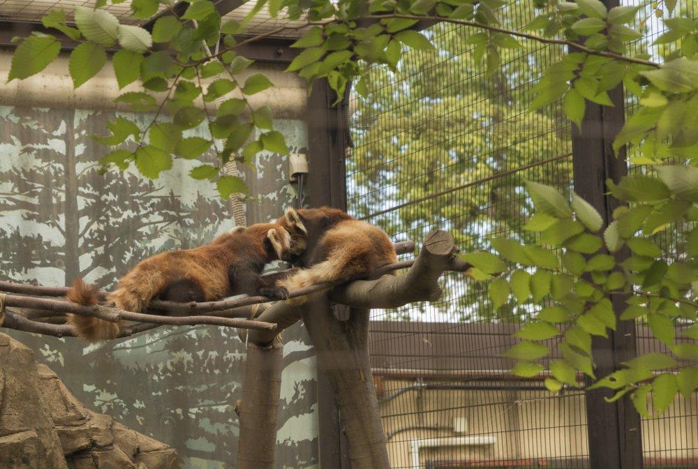 Salah satu pertunjukan utama adalah sepasang panda merah ini