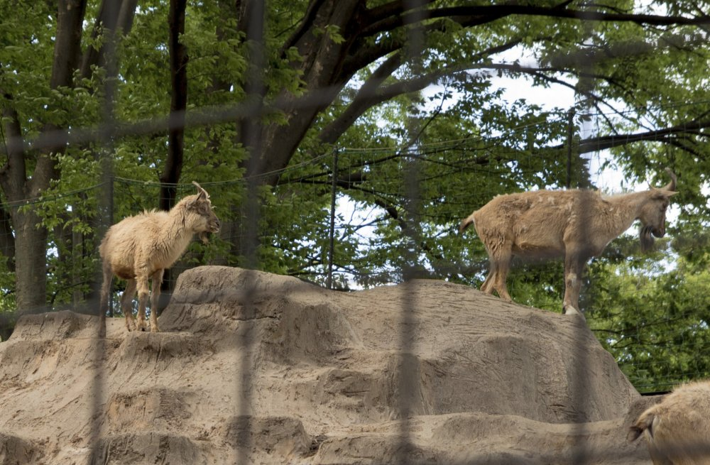 Kambing duduk di atas gundukan mereka, melihat ke bawah. Bagaimana mereka bisa bertahan di atas sana!