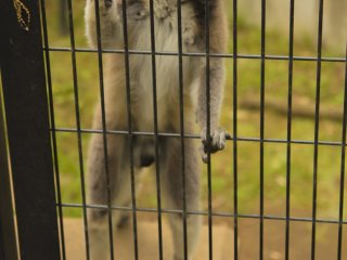 Berbagai jenis lemur juga ada di taman