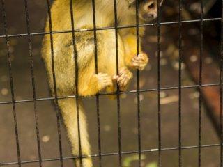 Banyak monyet ada di taman, seperti Monkey Squirrel ini