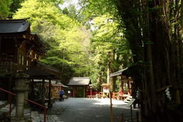<p>A giant 300 year old Judas tree is part of the lush greenery that surround the grounds of the shrine.</p>
