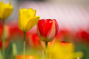 Yellow and red tulips in the center of the field