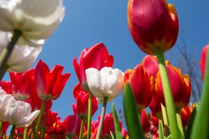 Tulips from below