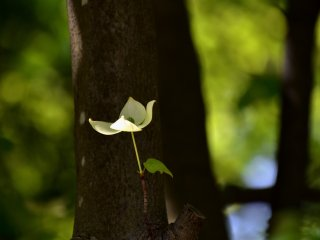 Lone Japanese dogwood flower in the shadow. I didn't know it could bloom directly from a tree trunk!