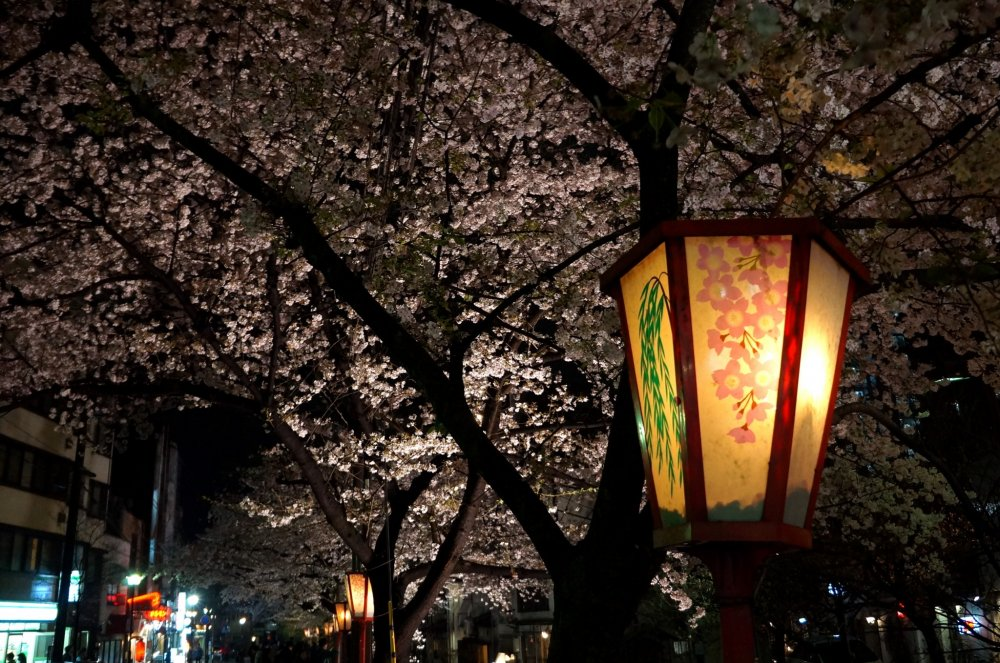 기온 거리 꽃무늬 등과 활짝 핀 벚꽃
