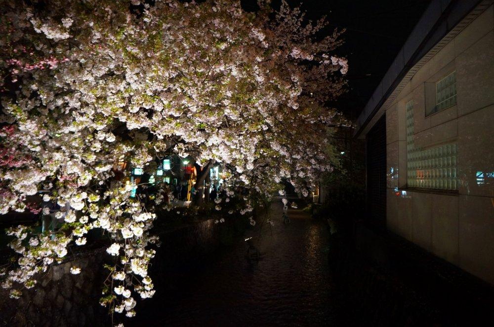 흐르는 강 위에 은은한 조명을 받은 벚꽃