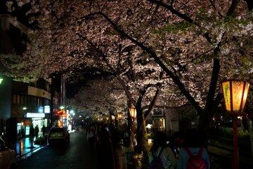 <p>기온 골목길과 벚꽃</p>