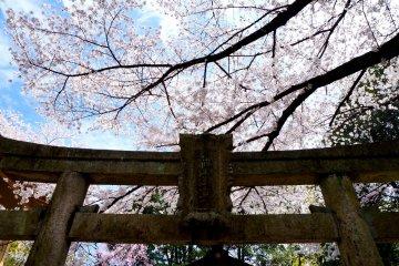 <p>푸른 하늘, 벚꽃, 그리고 도리이</p>
