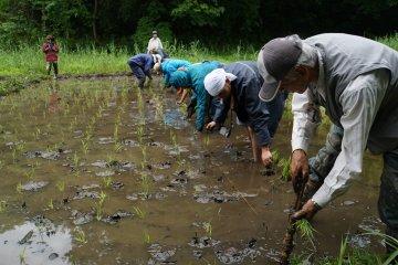 <p>Рисовые поля, управляемые Yato Satoyama Planning, некоммерческой организацией, в состав которой входят по большому счёту пенсионеры</p>