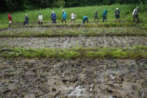 We planted 300 square meters of rice today!