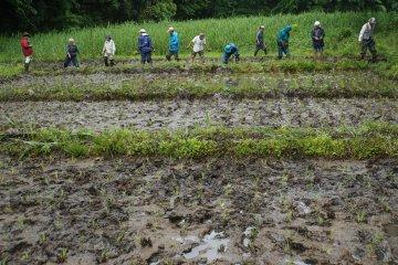 <p>Мы посадили 300 квадратных метров риса сегодня!</p>
