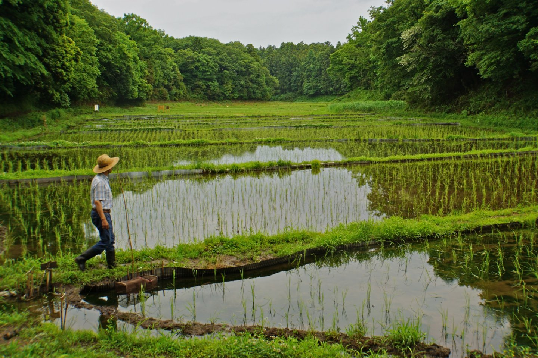 "Mr. HiroshiKaneoya of ""Watashi-no-inaka"" Yato Workshop tends to the rice fields"