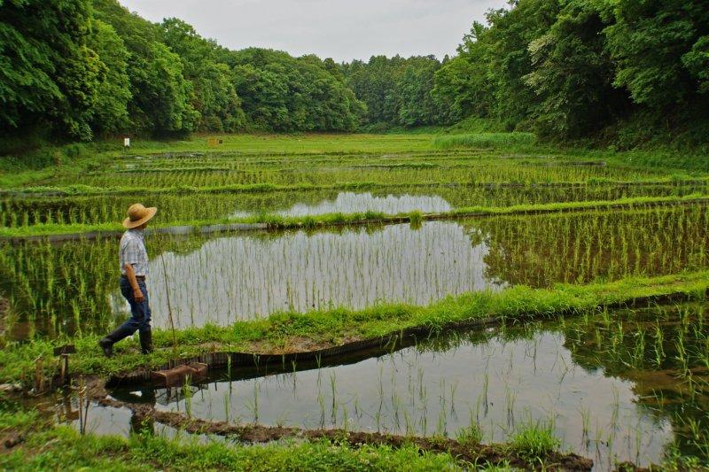 <p>Господин Хироси Канеоя из Watashi-no-inaka Yato Workshop ухаживает за рисовыми полями</p>