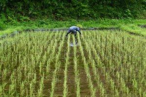 Rice transplanting in an abundant field of seedlings