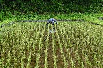 <p>Рис пересаживается в обильные поля рассады</p>