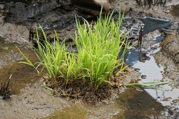 <p>Рассада. Для посадки надо вытащить четыре стебля и поместить в жижу. Ко времени сбора урожая один стебель даст 100 зерен риса!</p>