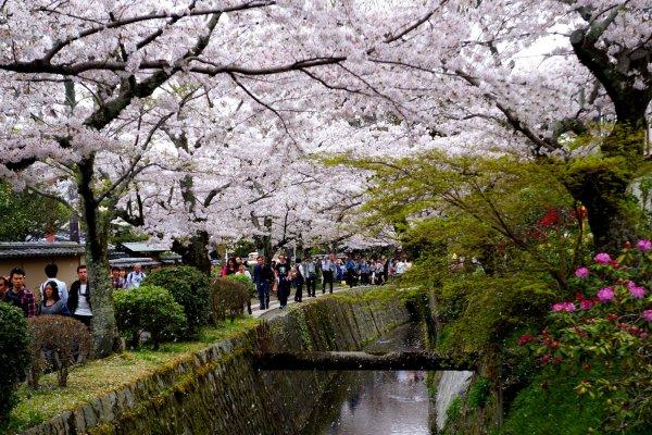 '벚꽃 눈'이 내리는 테츠가쿠노미치