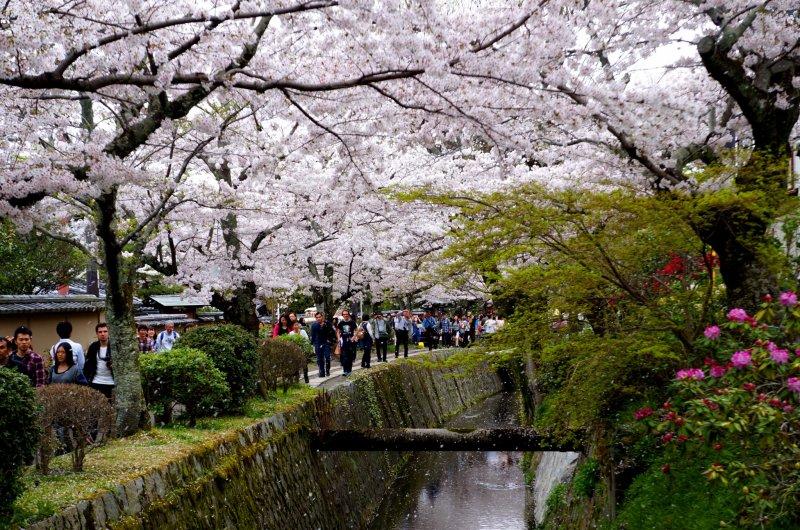 <p>&#39;벚꽃 눈&#39;이 내리는 테츠가쿠노미치</p>
