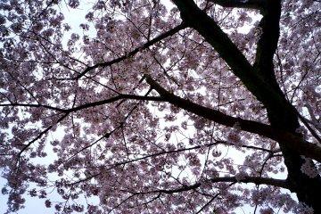<p>활짝 핀 벚꽃</p>