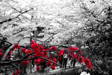 <p>벚꽃 외에 다른 아름다운 꽃들도 많이 피어있어요.</p>