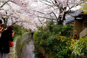 <p>벚꽃, 운하, 구경하는 사람들</p>