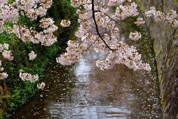 <p>운하와 벚꽃나무</p>