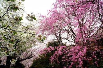 <p>종류가 다른 벚꽃나무들</p>