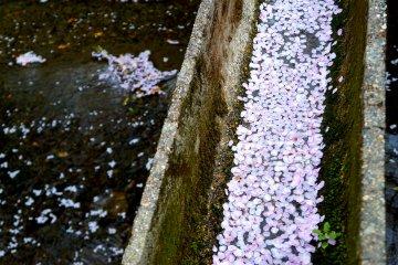 <p>무수히 떨어진 벚꽃잎들. 운하를 따라 흐르는 모습도 아름다웠어요.</p>
