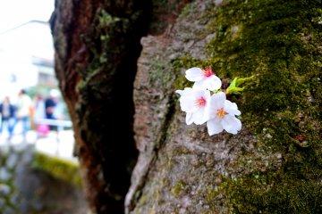 <p>가지가 아닌 나무기둥에 핀 벚꽃은 처음 봤어요.</p>