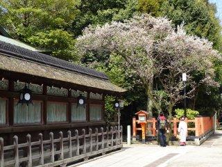 ระเบียงรั้วรอบอาคารหลักหรืออาคารฮอนโดะ (Hondo) กับต้นซากุระ