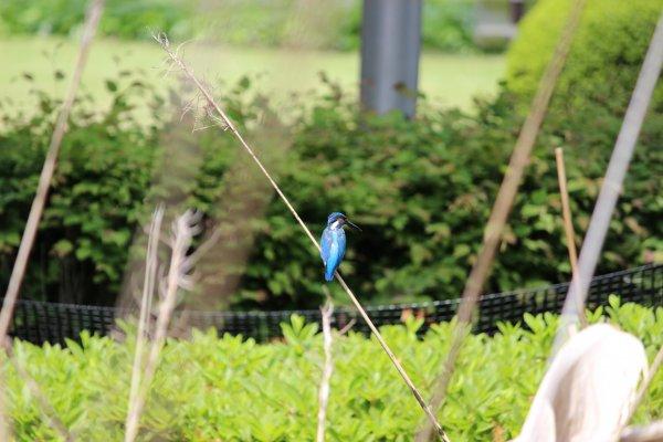 「白鳥の池」でたびたび目撃されるカワセミ。その美しい羽の色から、翡翠・青い宝石と呼ばれています