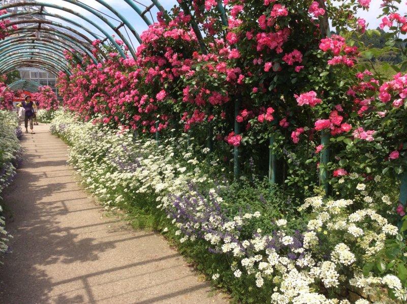 <p>ดอกกุหลาบสองสีที่เข้ากันเบ่งบานสะพรั่ง</p>