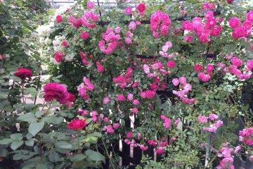 <p>ดอกกุหลาบเล็กๆ ดูสวยงดงาม</p>