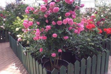 <p>ใช้เวลาช้าๆ ชื่นชมดอกกุหลาบหลาหลายชนิด</p>