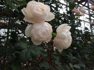 순백색이 아니지만 이 창백한 핑크색 장미는 사랑스럽다.