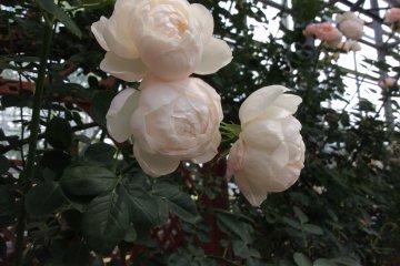 <p>ดอกกุหลาบนี้ไม่ใช่สีขาวบริสุทธิ์ แต่มีสีชมพูอ่อนๆ</p>