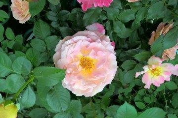 A peach rose