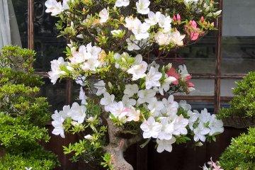 A bonzai in bloom