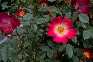 กุหลาบ cocktail rose