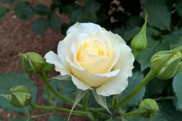 A beige rose