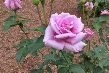 A pink rose