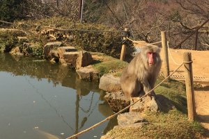 About 120 snow monkeys inhabit Monkey Park Iwatayama.