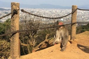 Enjoy not only the monkeys, but also the spectacular view at Monkey Park Iwatayama.