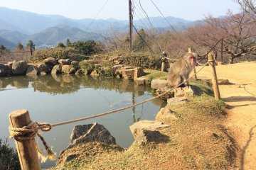 Enjoy a quaint koi pond on top of Iwatayama mountain.
